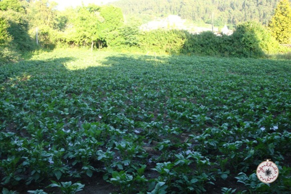 batatal / potato field