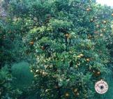 laranjal /orangery