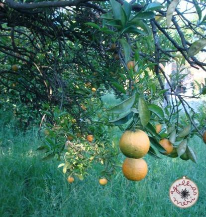 Laranjeira com flor e fruto