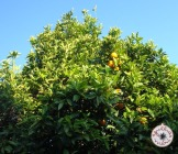 laranjeiras com flor e fruto /orange trees with flowers and fruits