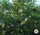 Limoeiros / Lemon tree